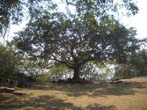 grande vecchio albero fotografia stock libera da diritti