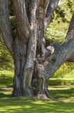 Grande, vecchio albero Fotografia Stock