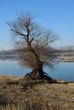 Grande vecchio albero della riva del fiume Fotografie Stock
