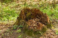 Grande vecchio ceppo di albero marcio in primavera Fotografie Stock