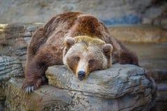 Grande vecchio orso Fotografia Stock