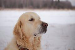 Grande vecchio primo piano del cane del ritratto Immagine Stock