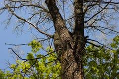 Grande vecchio tronco di albero circondato dai giovani agains verdi delle foglie di acero Fotografie Stock