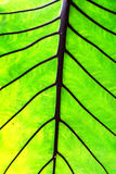 Grande verde della foglia di Lotus Fotografia Stock Libera da Diritti