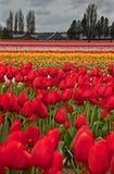 Grande verticale de zone de tulipe de printemps Image libre de droits