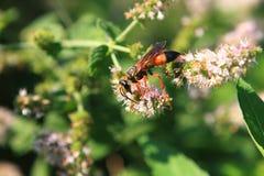 Grande vespa de escavador dourada Imagens de Stock Royalty Free
