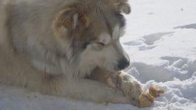 Grande viande métisse de consommation de chien égaré dans la neige clips vidéos