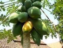 Grande vieille papaye sur l'arbre Photos stock