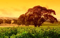Grande vigna dell'albero Fotografia Stock