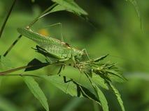 Grande viridissima verde de Tettigonia do grilo do arbusto Fotos de Stock Royalty Free