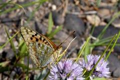 Grande vista laterale madreperlacea della farfalla immagini stock