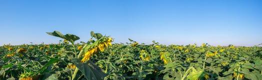 A grande vista panorâmica dos girassóis coloca no céu azul Fotografia de Stock Royalty Free