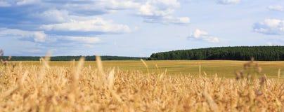 Grande vista sul giacimento di grano Immagini Stock