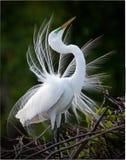 Grande visualizzazione bianca del Egret Fotografie Stock