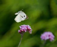 Grande volo bianco della farfalla immagini stock