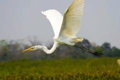 Grande volo del egret Fotografie Stock