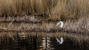 Grande volo del ` s dell'egretta ad una nuova posizione fotografia stock