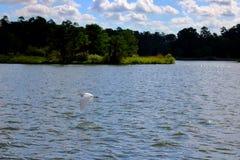 Grande volo dell'egretta Fotografia Stock