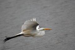 Grande volo dell'egretta Immagine Stock