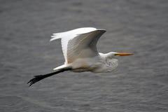 Grande volo dell'egretta Fotografie Stock