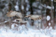 Grande voo de Gray Owl Fotografia de Stock Royalty Free