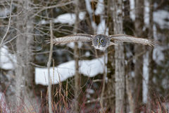 Grande voo de Gray Owl Imagens de Stock Royalty Free