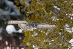 Grande voo de Gray Owl Fotografia de Stock