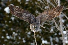 Grande voo de Gray Owl Foto de Stock