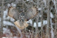 Grande voo de Gray Owl Imagem de Stock Royalty Free