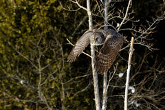 Grande voo de Gray Owl Imagem de Stock