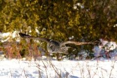 Grande voo de Gray Owl Foto de Stock Royalty Free