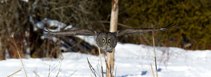 Grande voo de Gray Owl Fotos de Stock Royalty Free