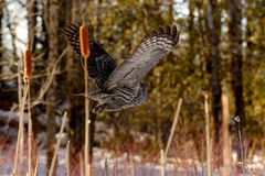 Grande voo de Gray Owl Fotos de Stock