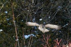 Grande voo de Gray Owl Imagens de Stock