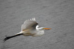 Grande voo do Egret Imagem de Stock