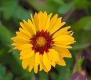 Grande Wildflower giallo e rosso Immagine Stock Libera da Diritti