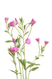 Grande Willowherb Foto de Stock Royalty Free