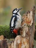 Grande Woodpecker manchado Imagens de Stock