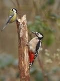 Grande Woodpecker manchado Fotografia de Stock