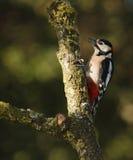 Grande Woodpecker manchado Foto de Stock