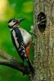 Grande woodpecker manchado Fotografia de Stock Royalty Free