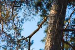 Grande woodpecker manchado Imagem de Stock Royalty Free