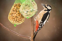 Grande woodpecker manchado Imagens de Stock Royalty Free