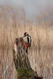Grande Woodpecker manchado Fotos de Stock Royalty Free