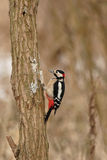 Grande Woodpecker manchado Foto de Stock Royalty Free