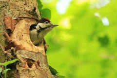 Grande Woodpecker manchado (major de Dendrocopos) Fotos de Stock Royalty Free