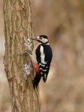 Grande Woodpecker manchado (major de Dendrocopos) Foto de Stock