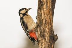 Grande woodpecker manchado, major de Dendrocopos Rebecca 36 fotografia de stock royalty free