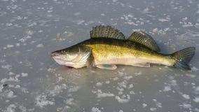 Grande zander grande no gelo Foto de Stock