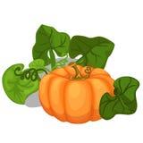 Grande zucca matura con le foglie Verdura di vettore royalty illustrazione gratis